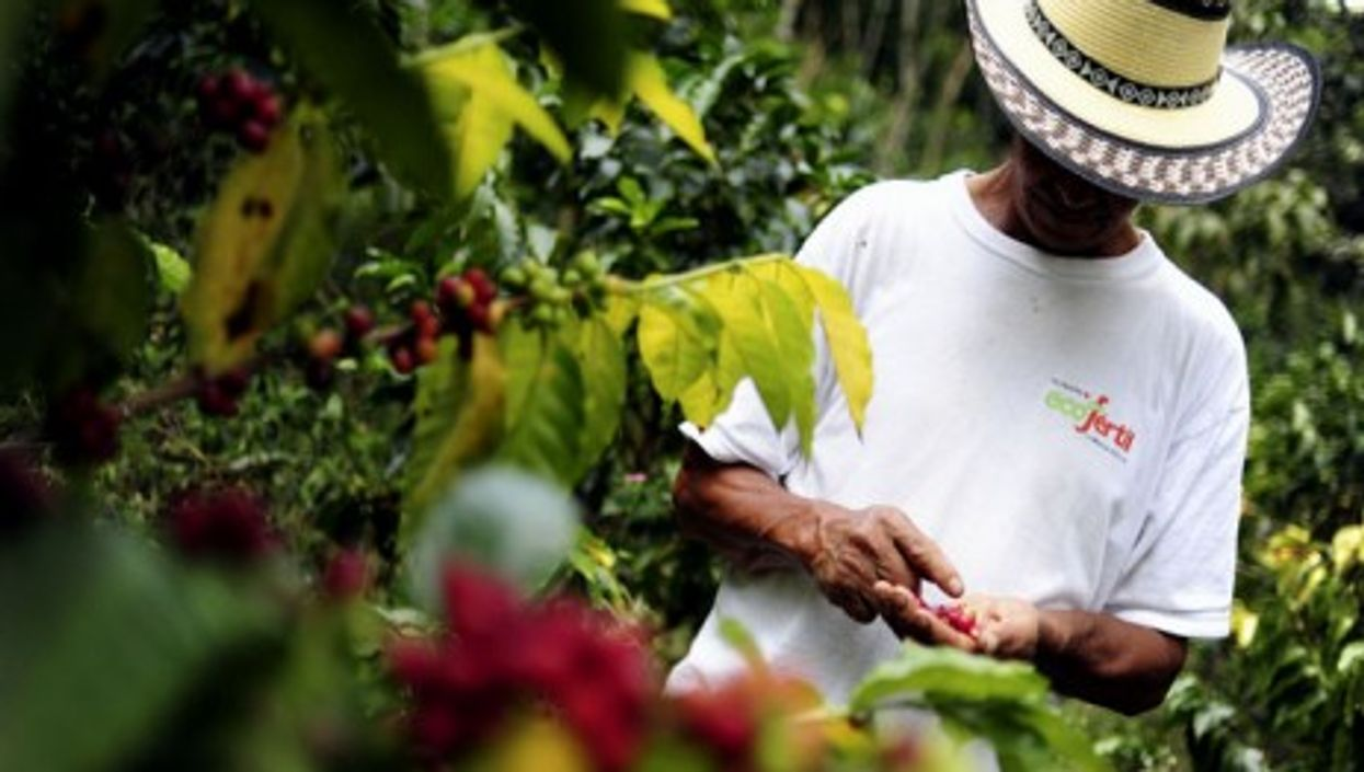 A coffee farmer inspects his crop in Colombia's southwestern Cauca department