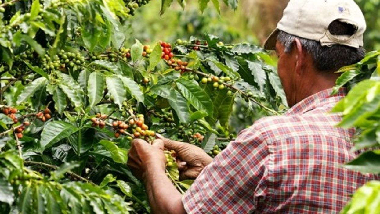 A coffee harvester in Colombia
