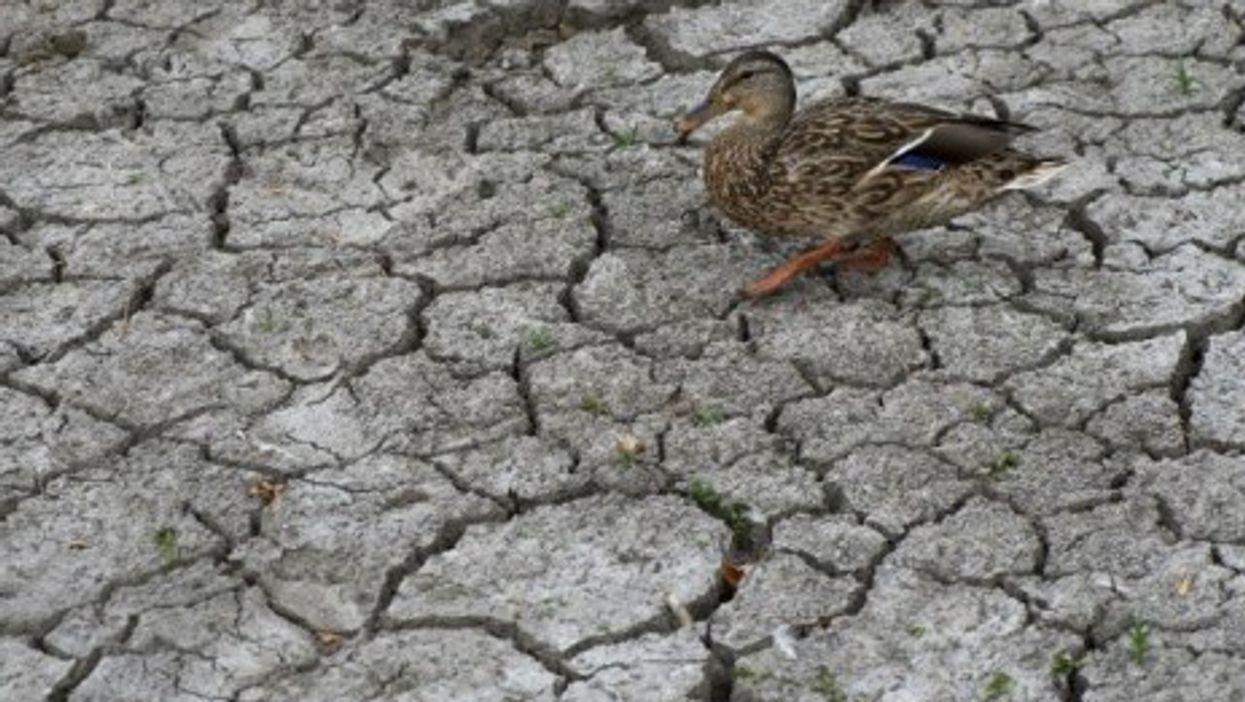 A duck walks across dried mud near a pond in Oregon.