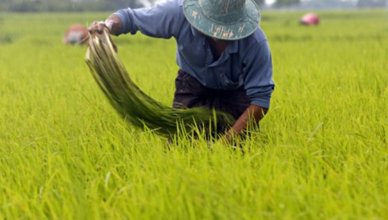 A farmer working at a paddy field