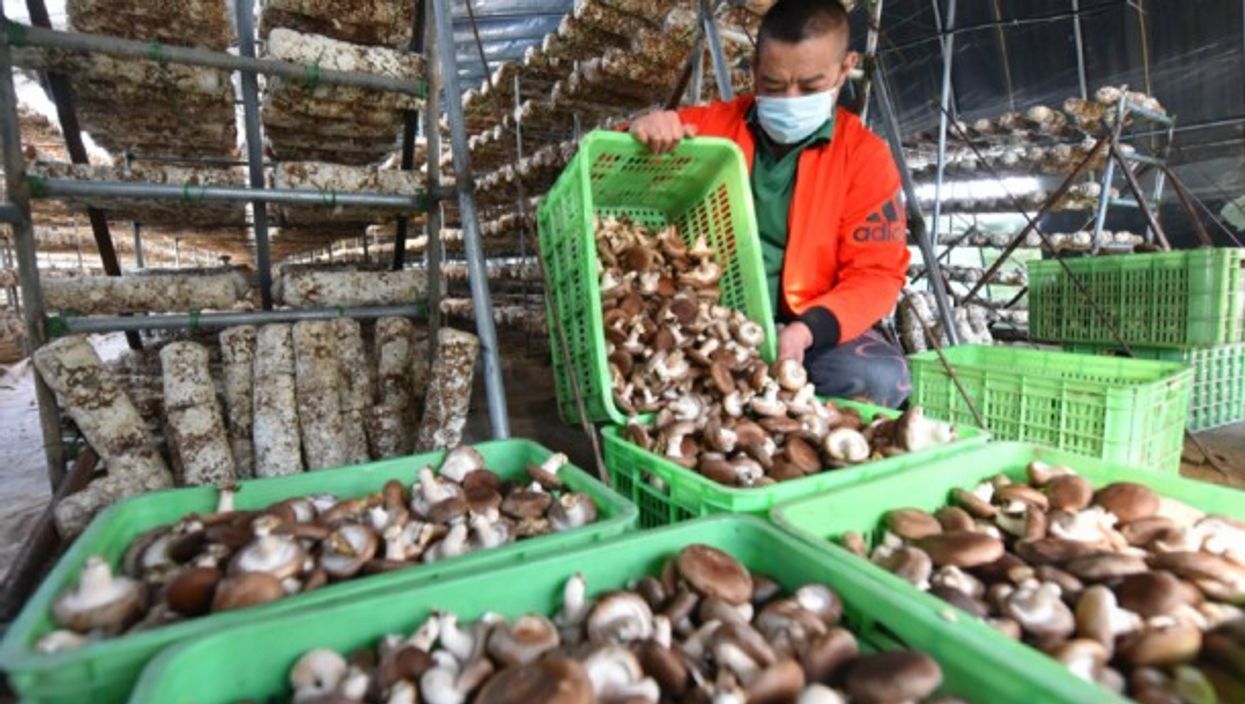 A farmer works at a greenhouse of a mushroom agricultural base in north China's Hebei Province.
