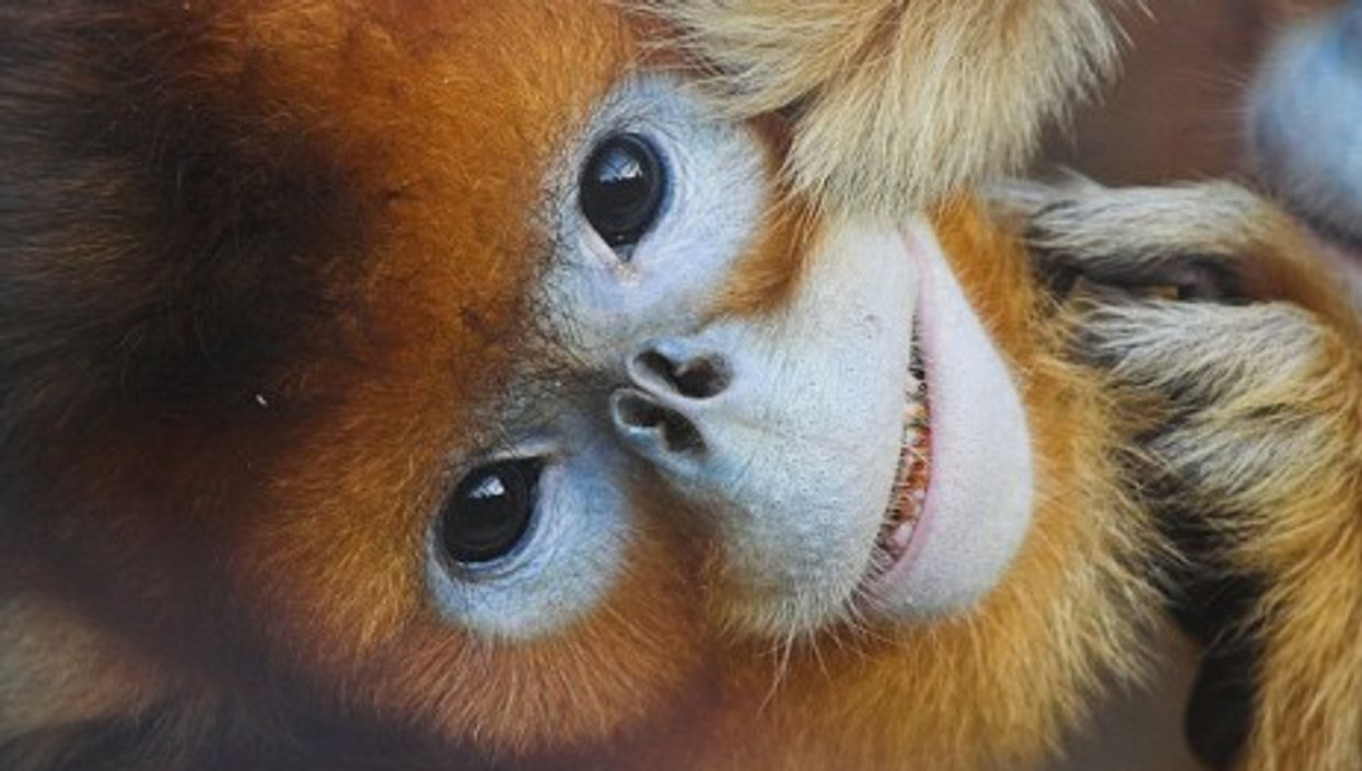 A golden snub-nosed monkey, cousin of the sneezer (suneko)