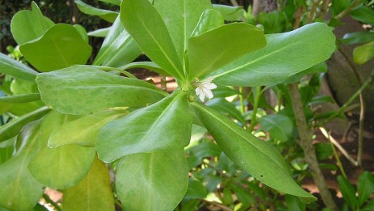 A manioc plant in bloom