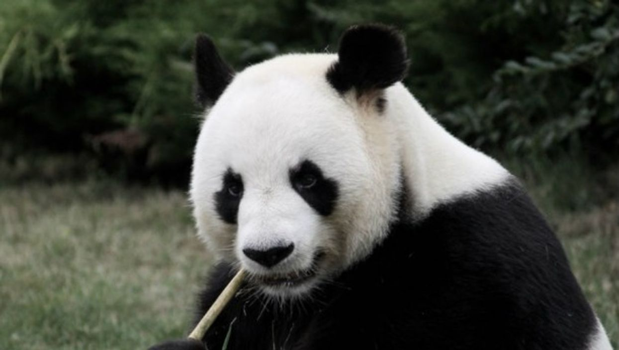 A panda at the Beauval zoo in France enjoys a piece of bamboo