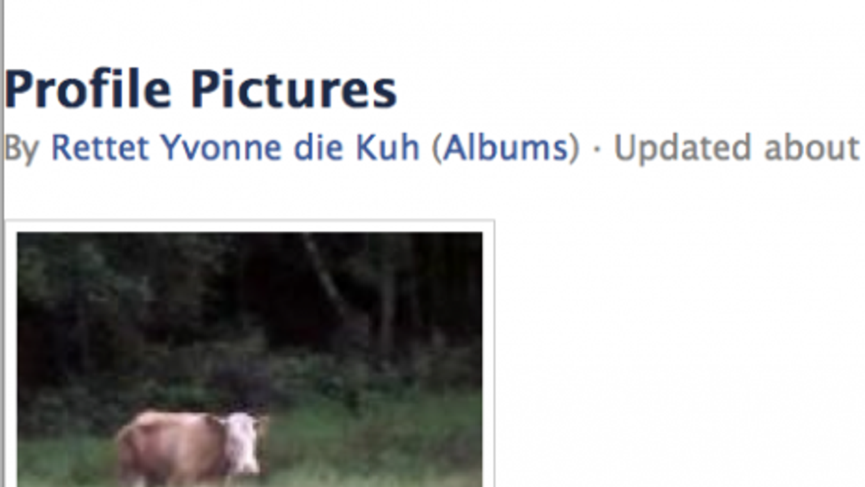 A renegade German cow has her friends and followers.