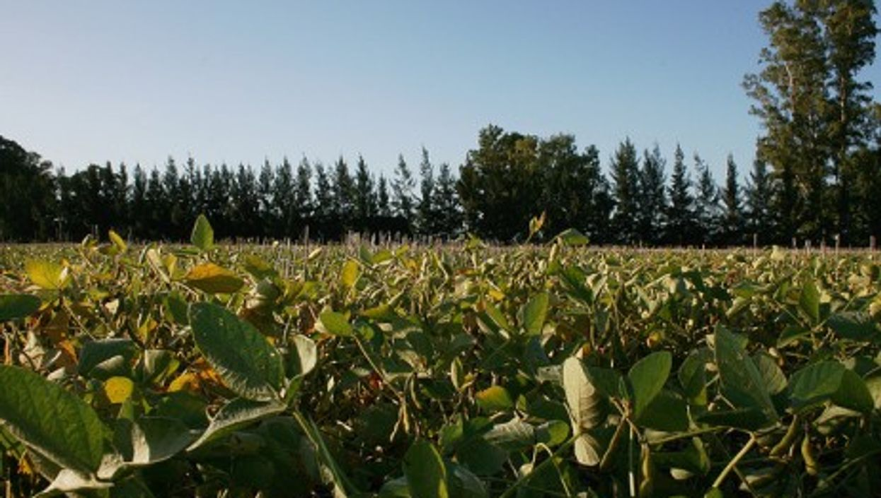 A soy field in San Pedro, Argentina (Irargerich)
