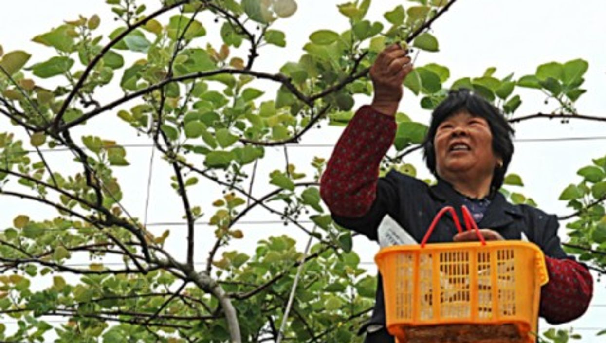A woman picks fruits for pollination in China's Zhejiang Province, in April 2014.