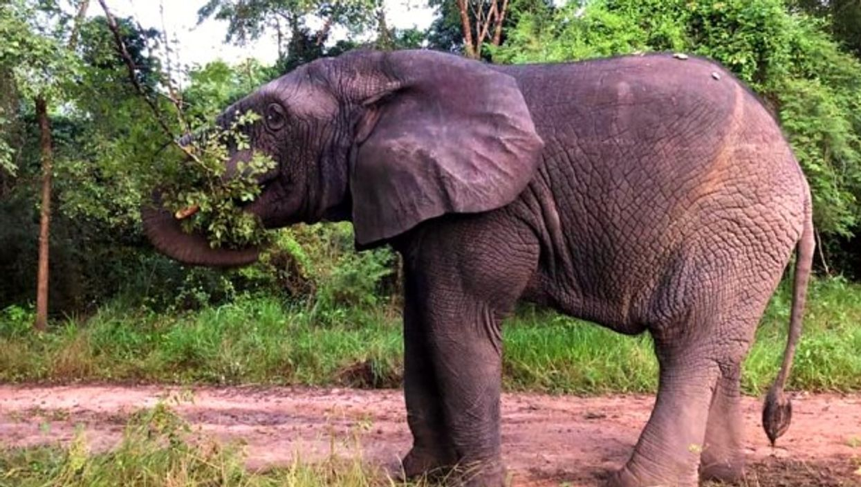 Ahmed the elephant in the N'Zi nature reserve