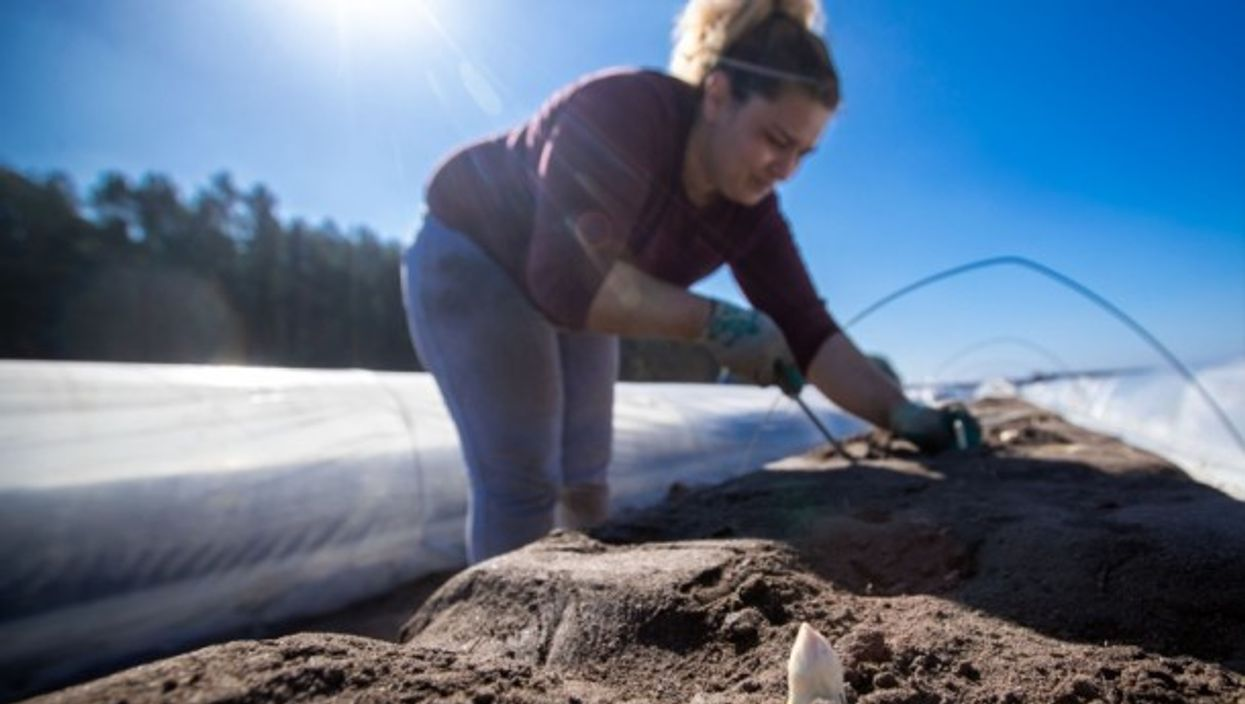 Asparagus harvest begins in Northern Germany