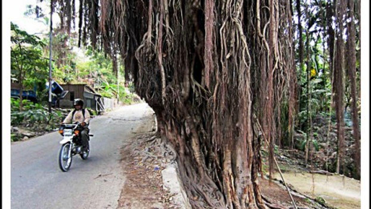Banyan trees in Baucau