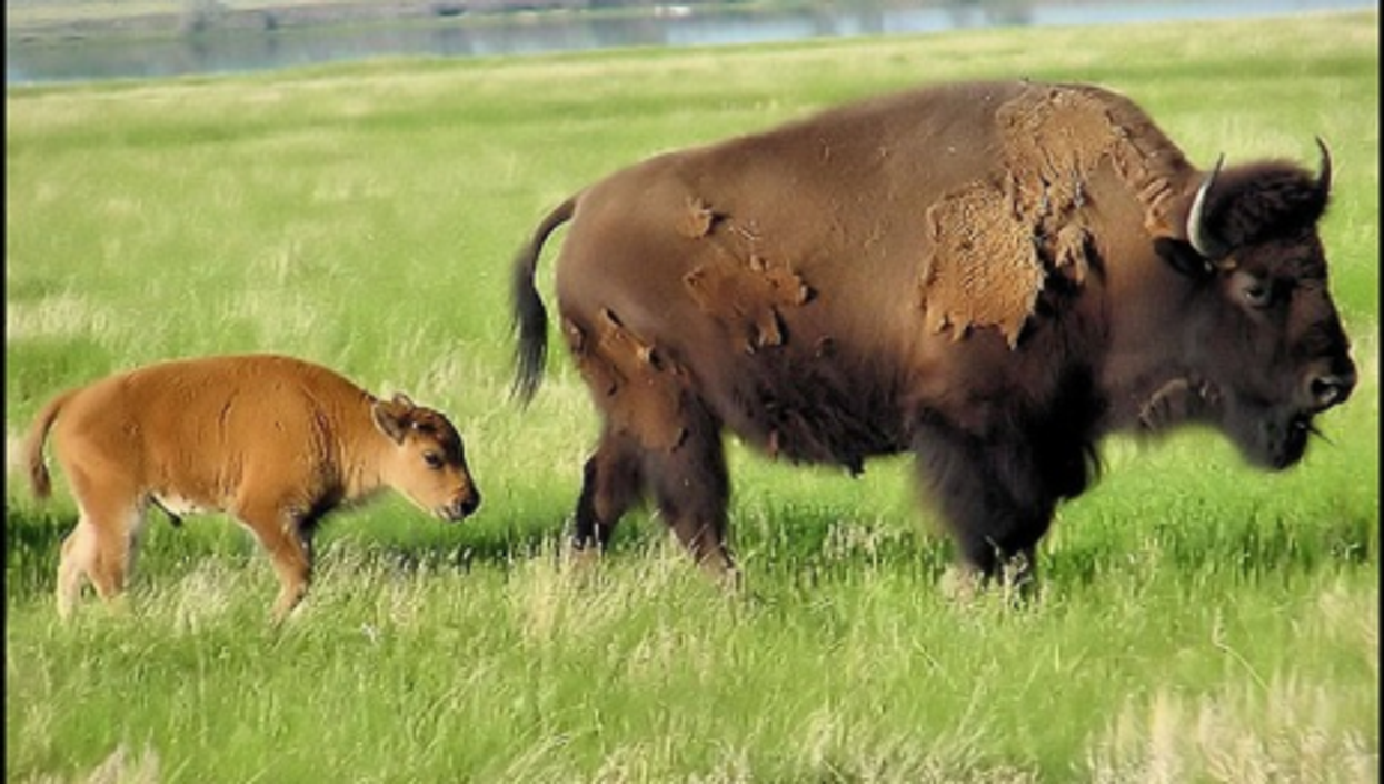 Bisons are back at Fort Peck, among *their* people (SeattleRay)