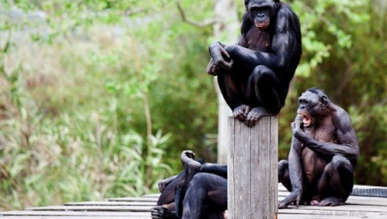 Bonobo apes at a zoo in Jacksonville, Florida (RobBixbyPhotography)