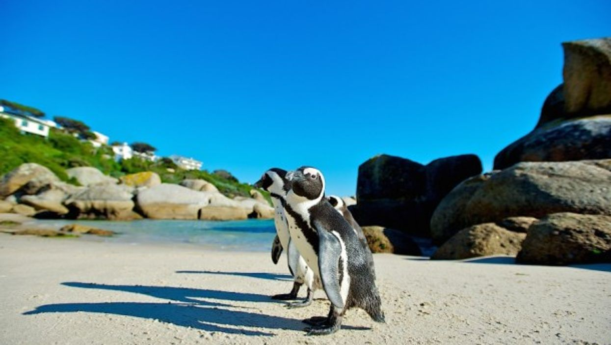 Cape Penguins in South Africa