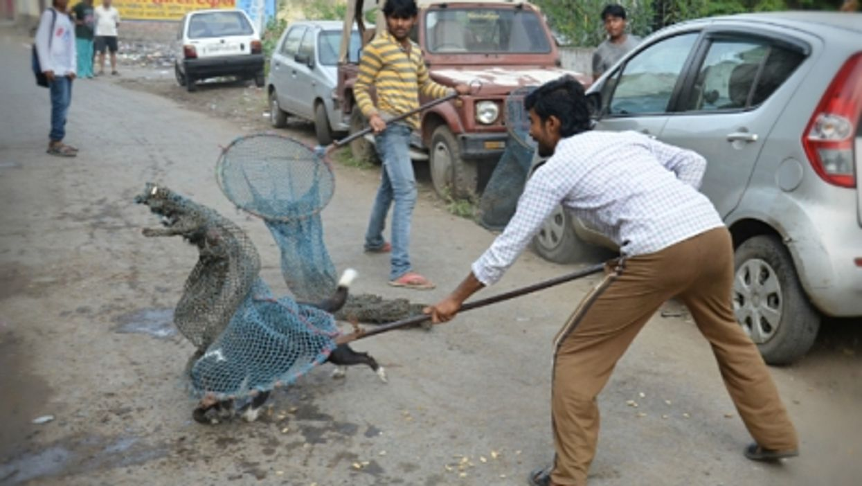 Catching street dogs to sterilize them, in Bhopal, India