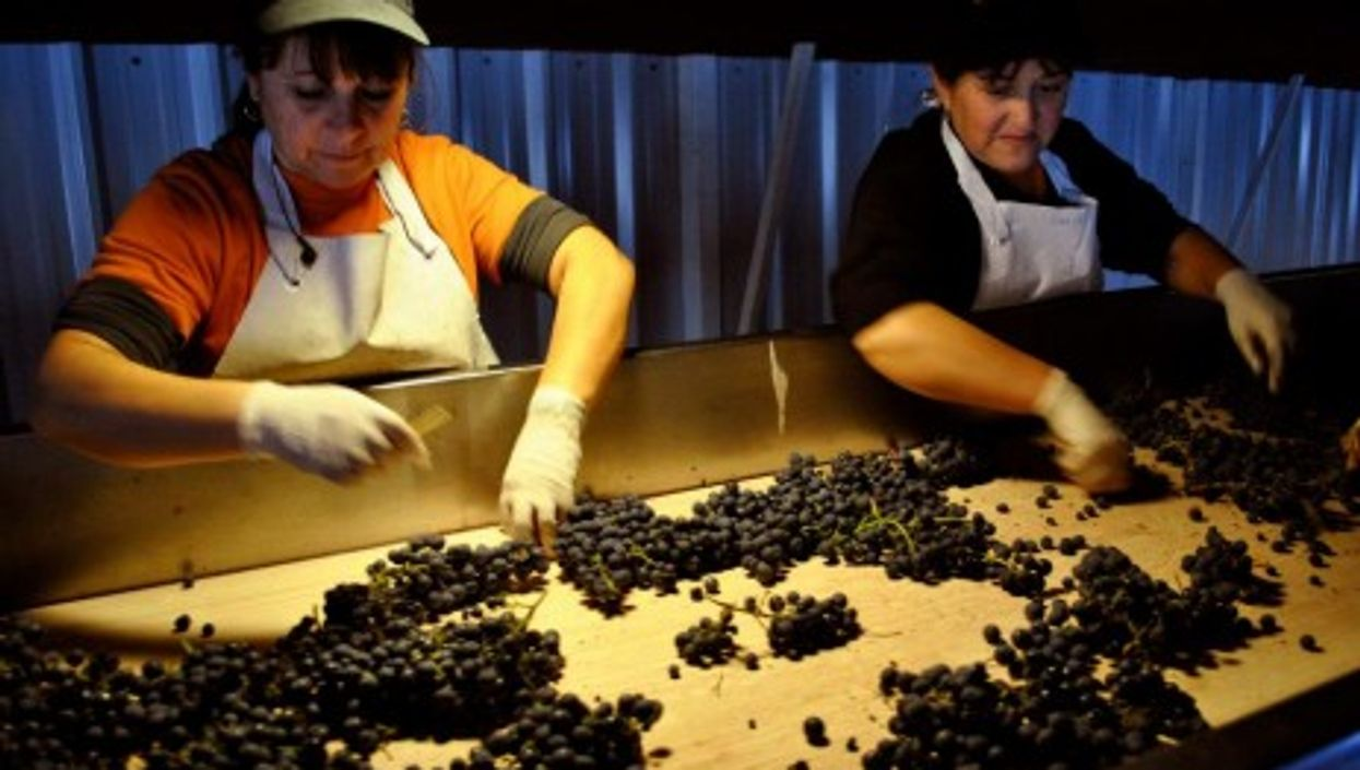 Chilean women picking their finest grapes