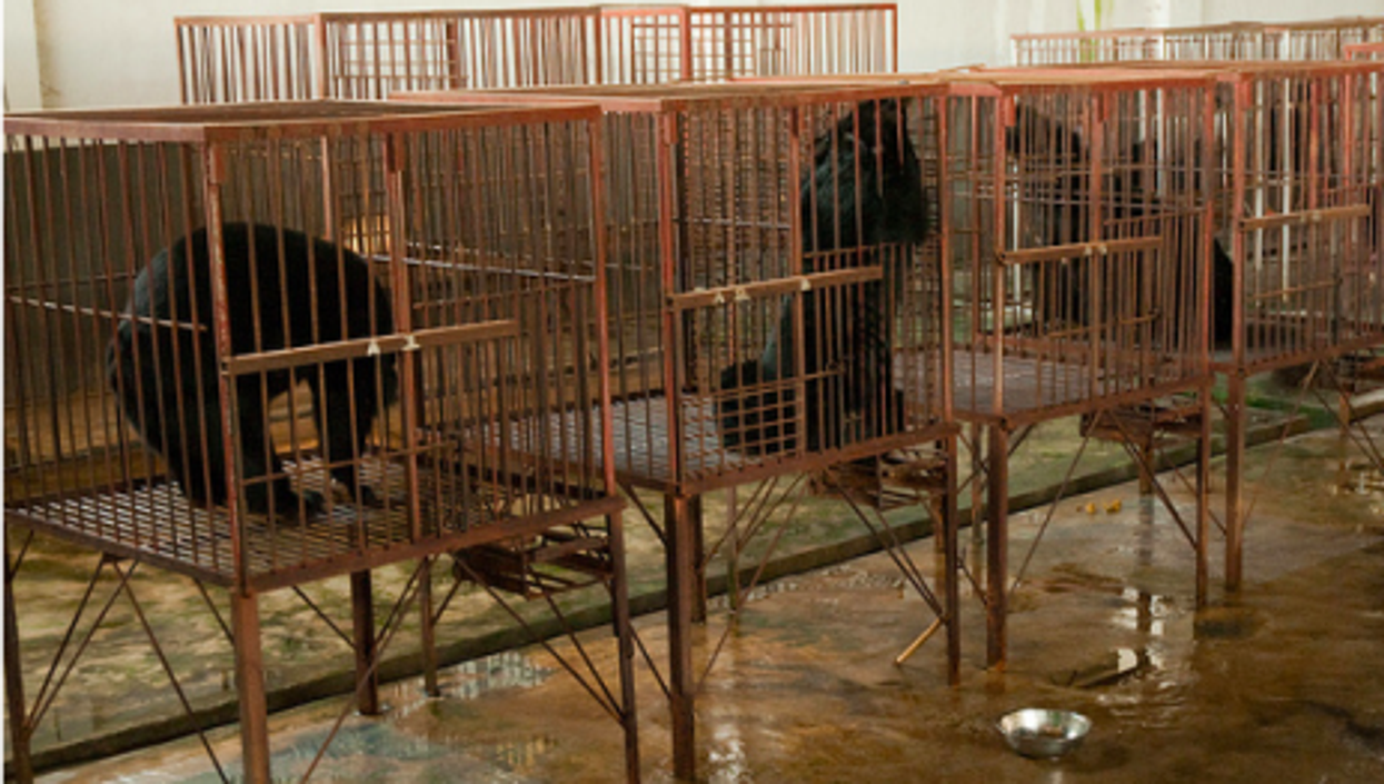 Chinese bear bile operations wanted to show they provided better conditions than these in Myanmar (Soggydan)