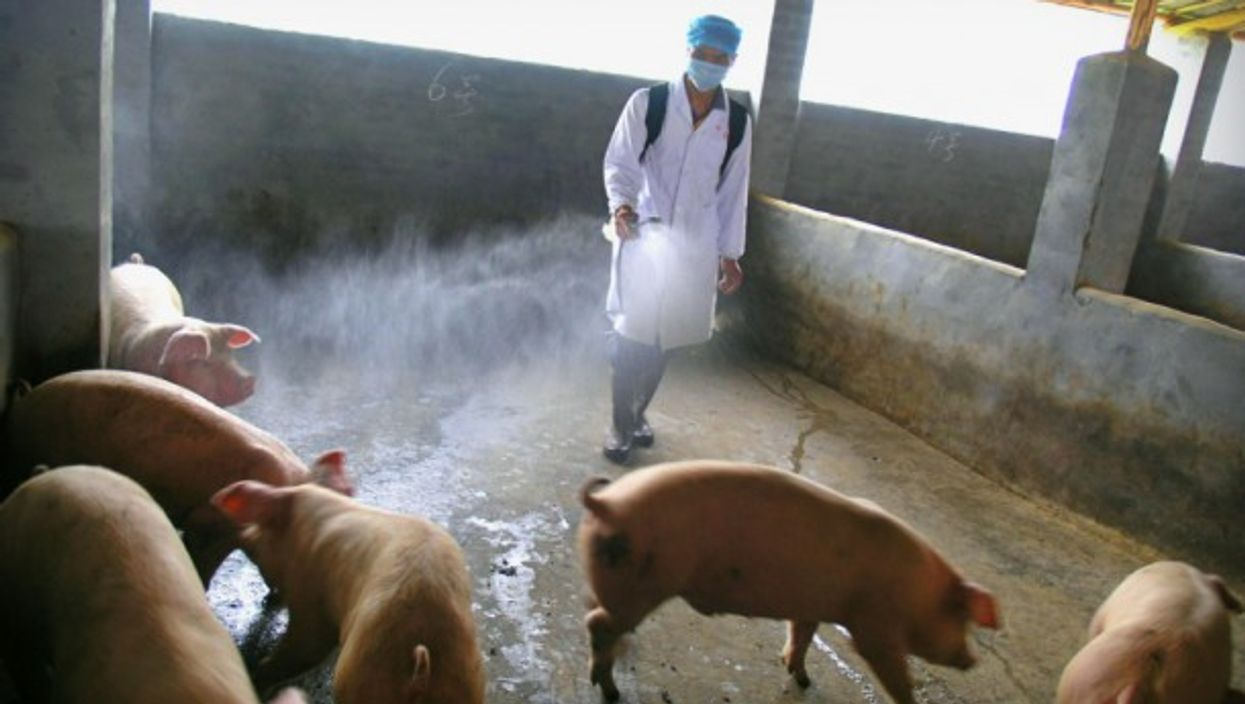 Chinese owner of a pig farm sprays disinfector on pigs