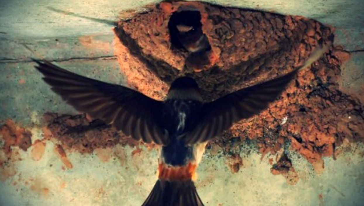 Cliff swallows (not European or African swallows...) nesting under a bridge in New Jersey, USA
