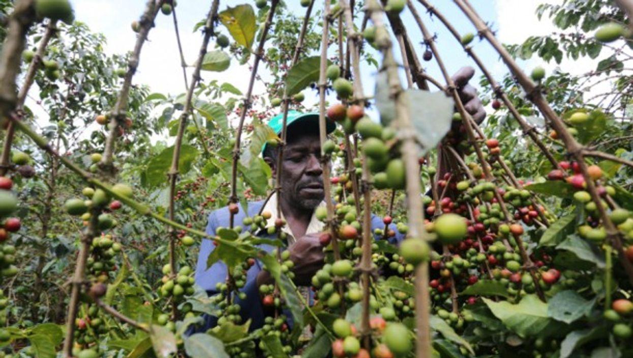 Coffee farmer harvesting beans in Kenya