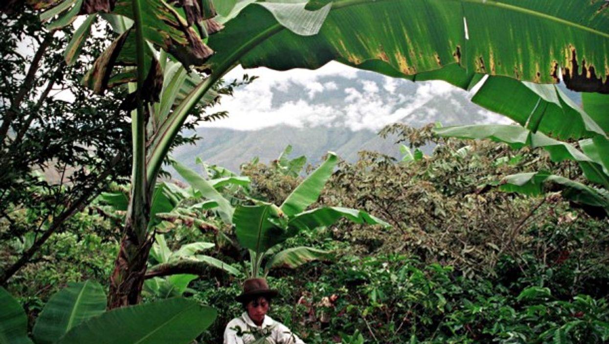 Coffee picker near Quillabamba, Peru