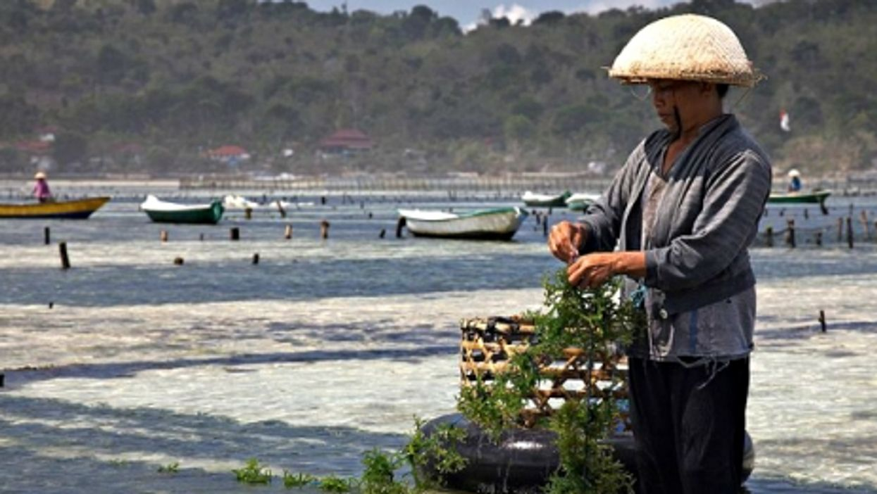 Cultivating seaweed in Bali, Indonesia
