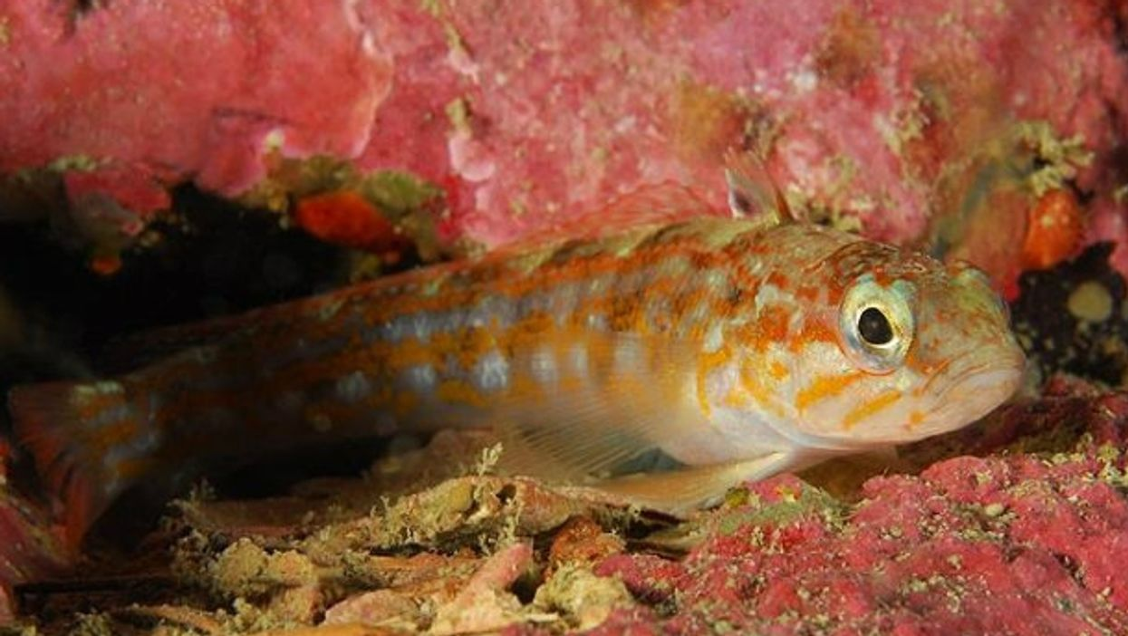 Cunningham's triplefin off the coast of Chile