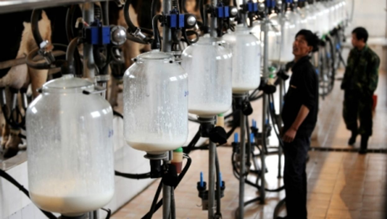 Dairy farmers collect milk in a cattle farm in Jinzhong, in China's Shanxi province.