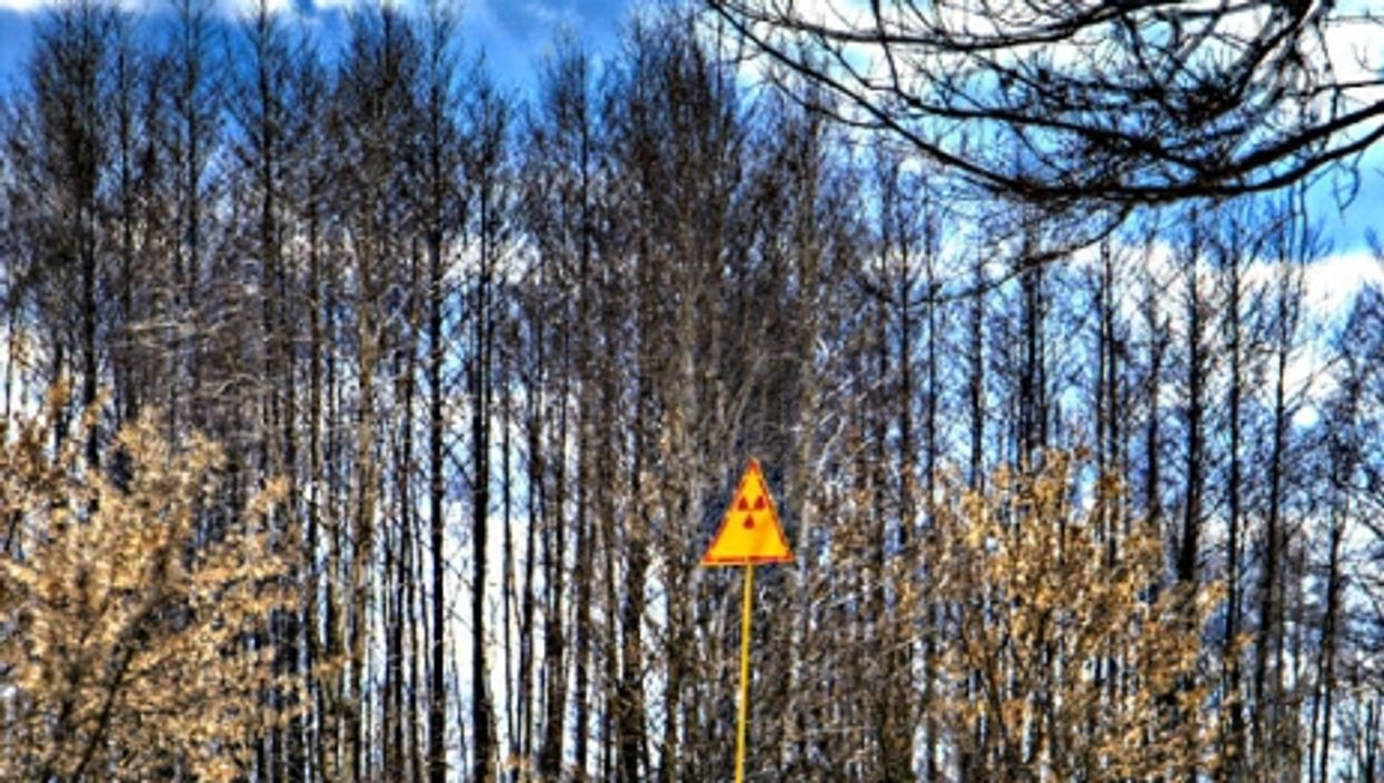 Decimated pine forest near Chernobyl site
