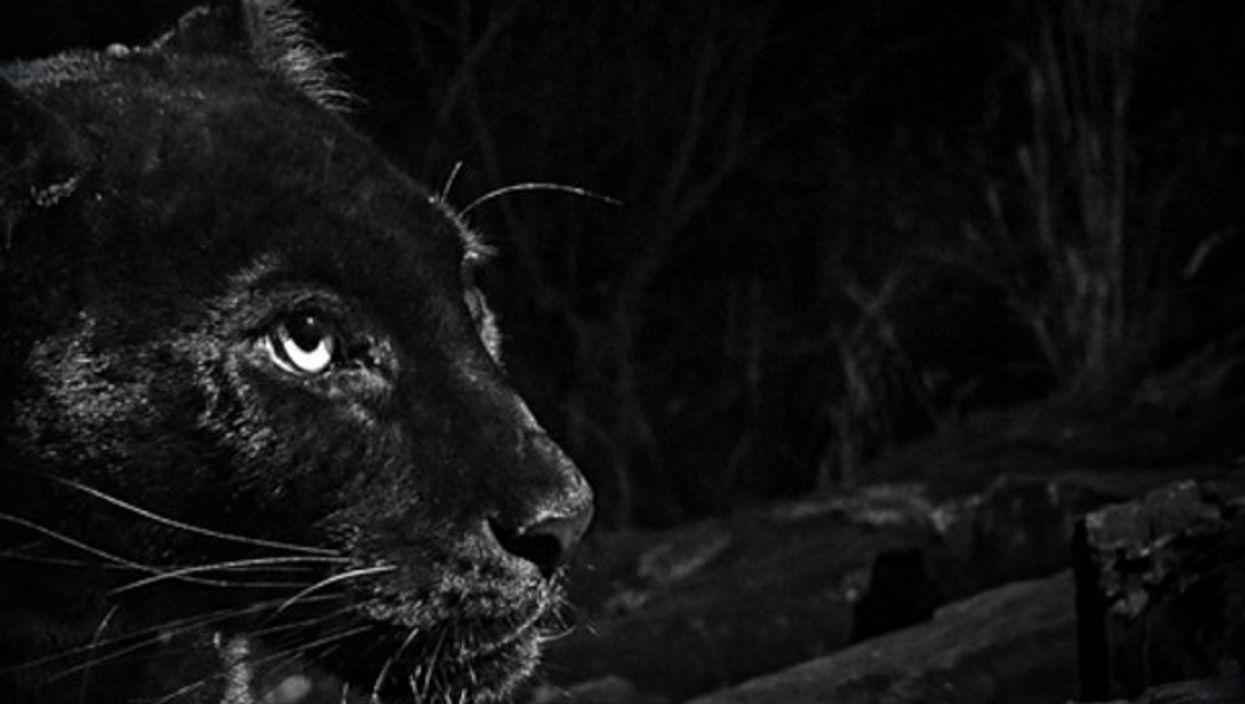 Detail of Black Leopard photograph at Laikipia Wilderness Camp, Kenya