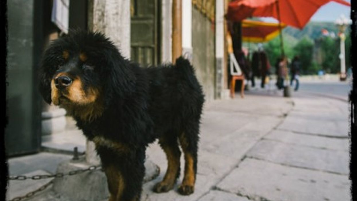 Dog-as-pet comes to China.