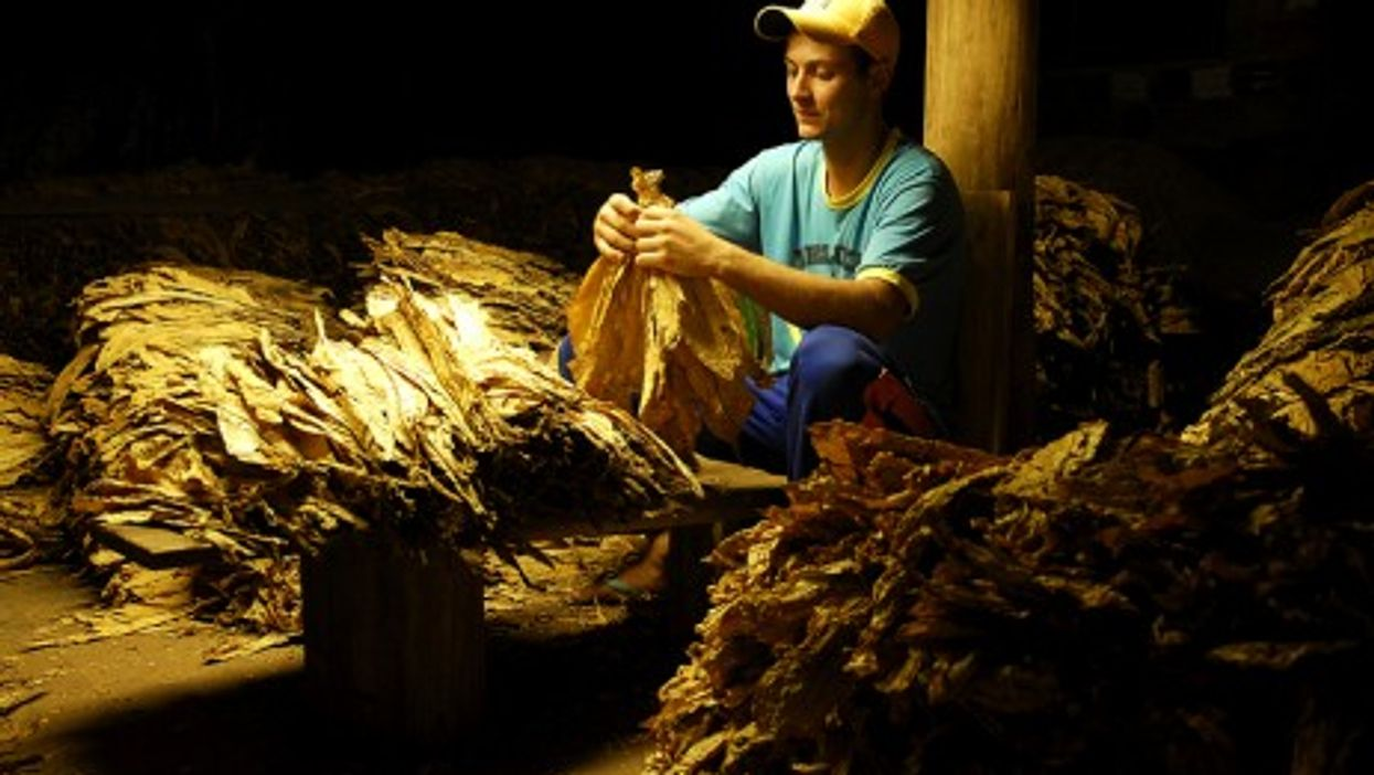 Drying tobacco leaves in Brazil