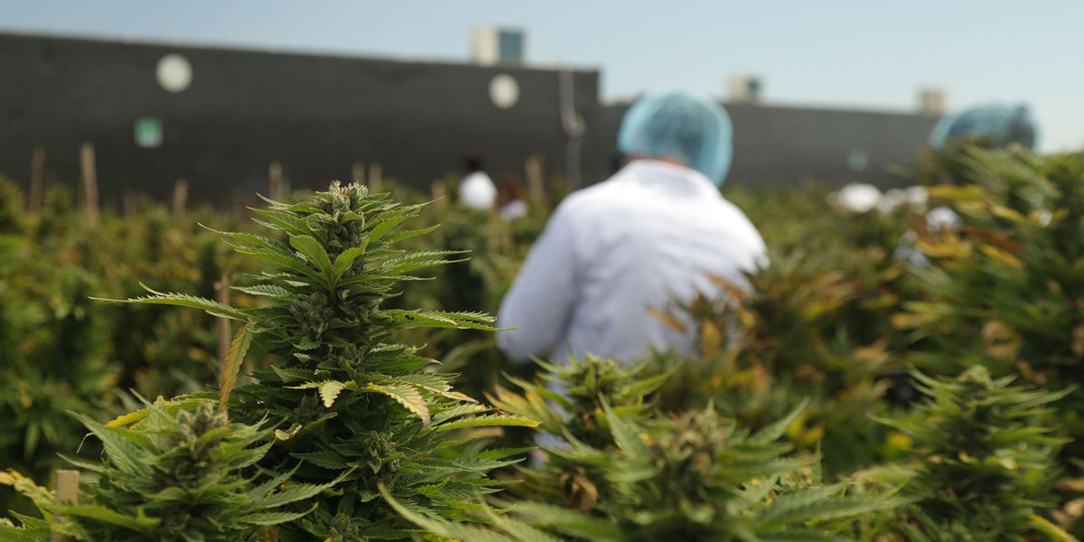 Cannabis Business: Latin America Can Export More Than Raw Material - Worldcrunch