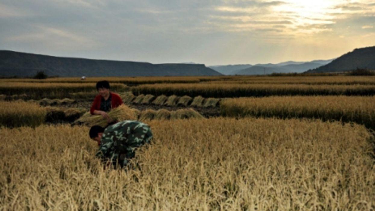 Farming rice in Yanbian