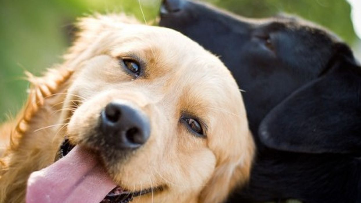 Golden Retreivers and Black Labs are reputed to be gentle and sociable breeds