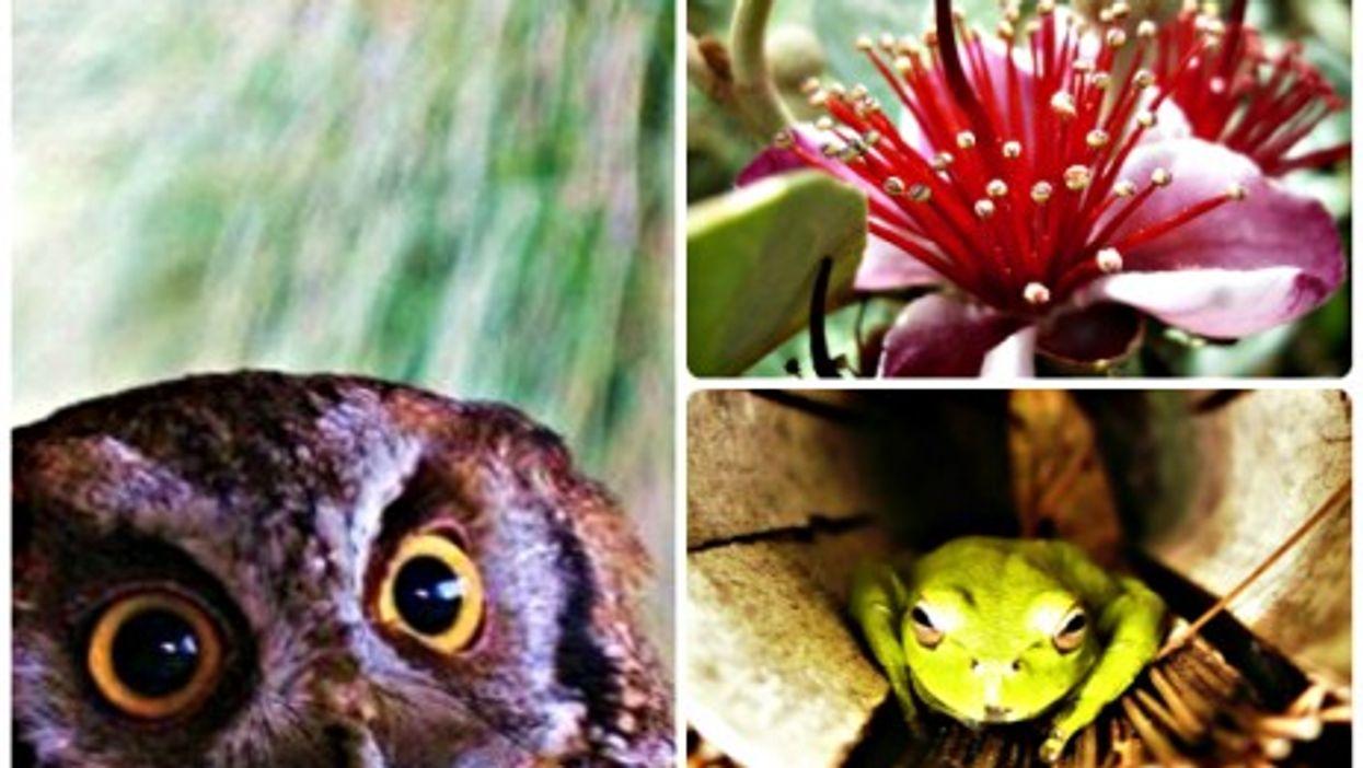 Happy future residents: short-eared owl, feijoa flowers, dendropsophus labialis