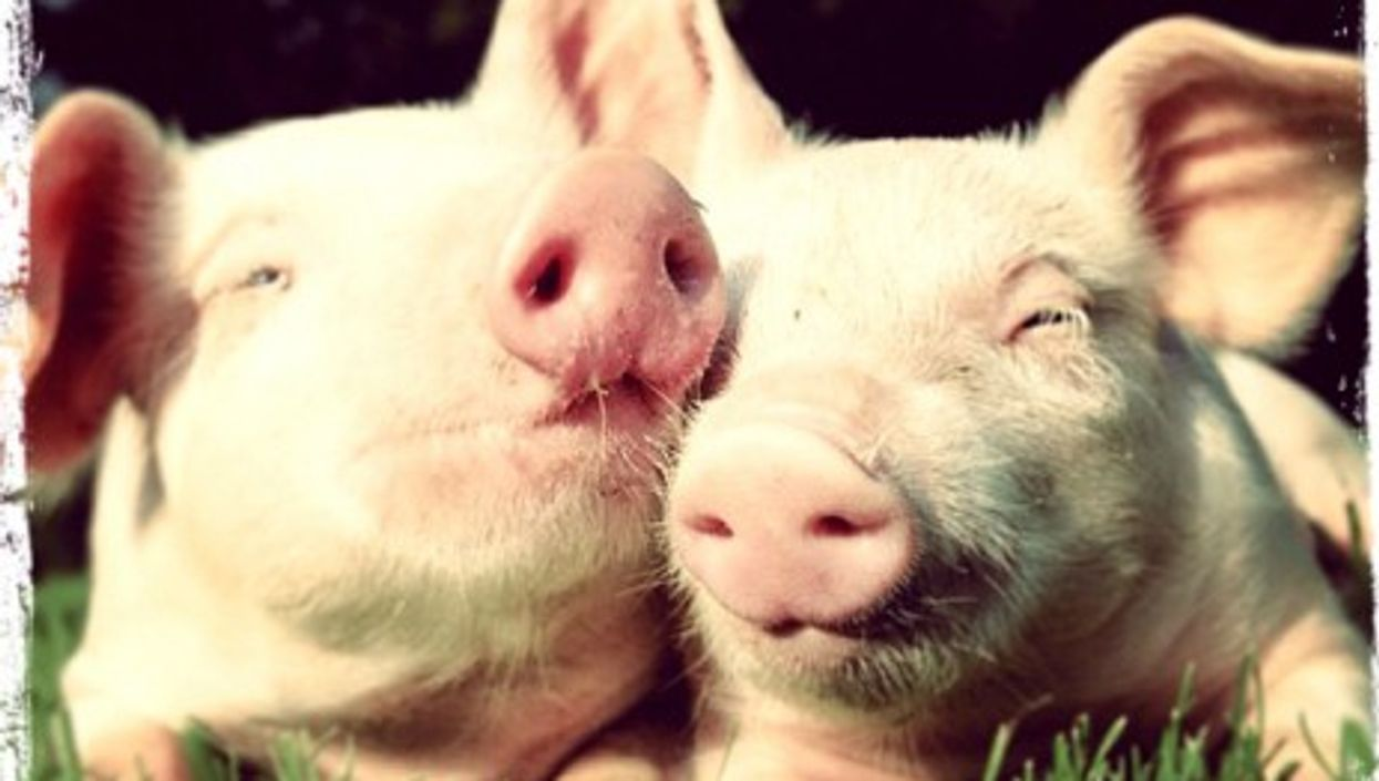 Have you seen the little piggies? (Editor's Note: these are a pair of unnamed pig supermodels, not Bella and Paula)