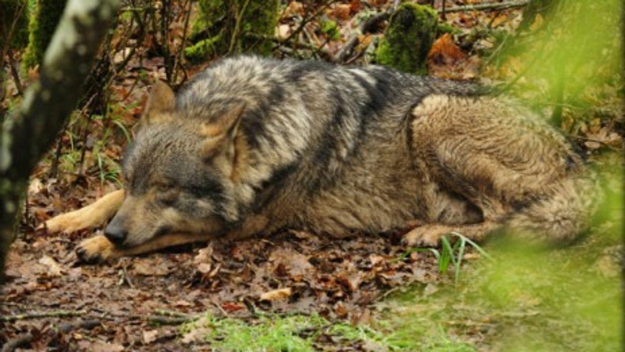 Iberian wolf in Lugo, Spain