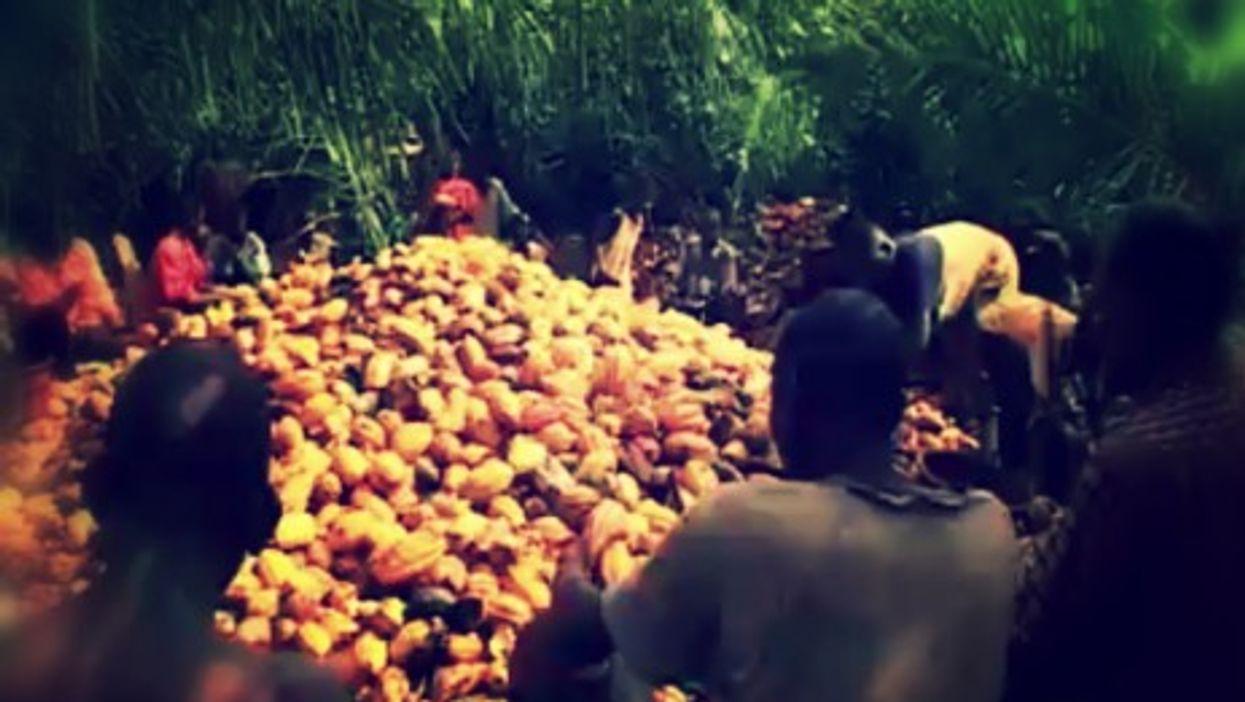 Cocoa Farming vs. Chimpanzees In Ivory Coast