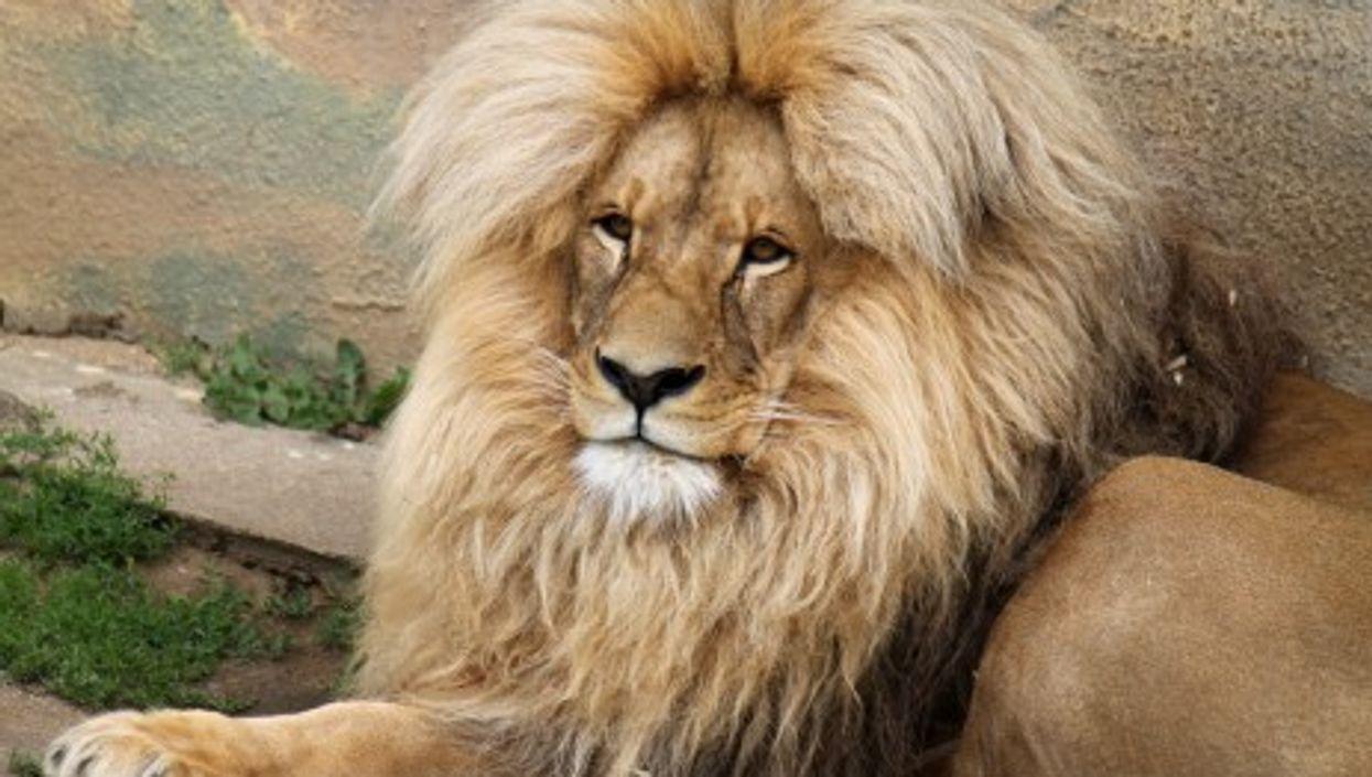 Suspicion After Another Lion Dies In Mendoza Zoo