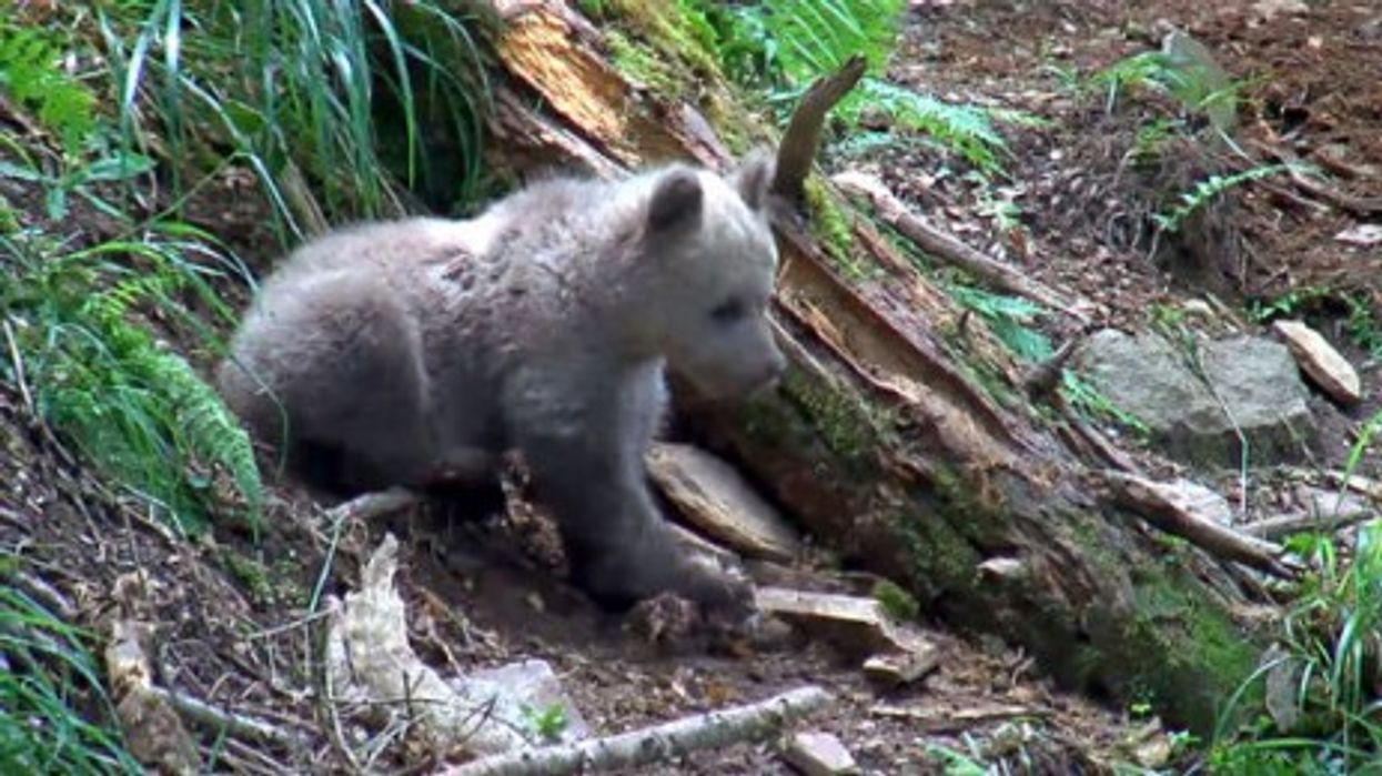 Sad End For Orphaned Bear Cub In Pyrenees Enclosure