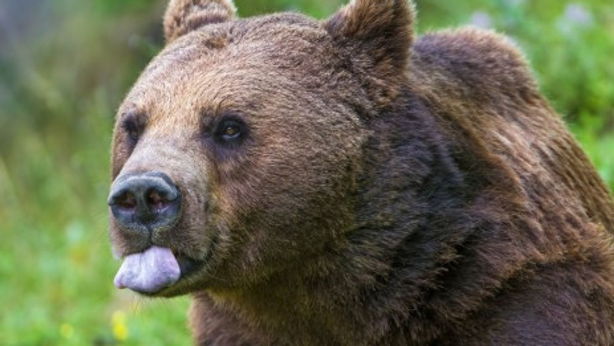 Italy Announces A Bear Hunt, And The Public Growls