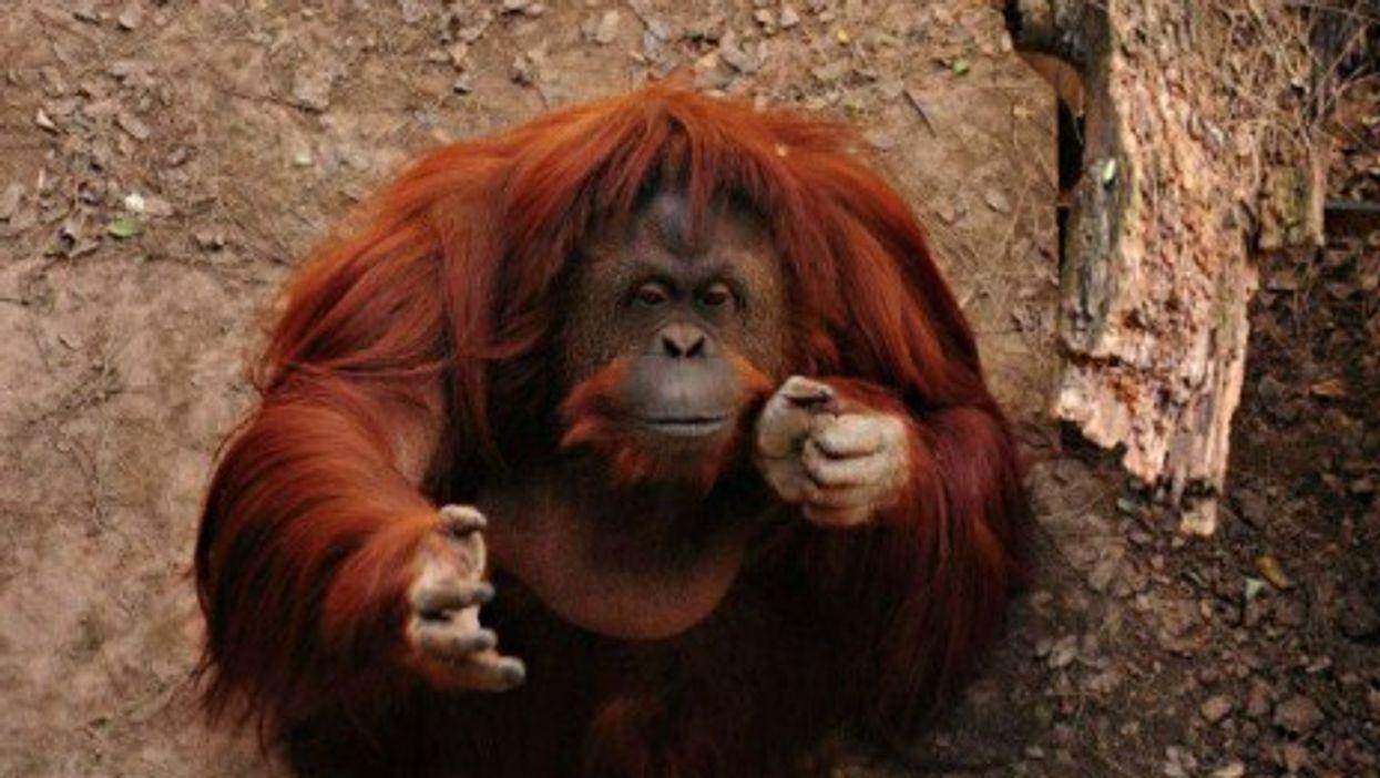 Animal Rights Group Files 'Habeas Corpus' Petition To Free Orangutan From Zoo