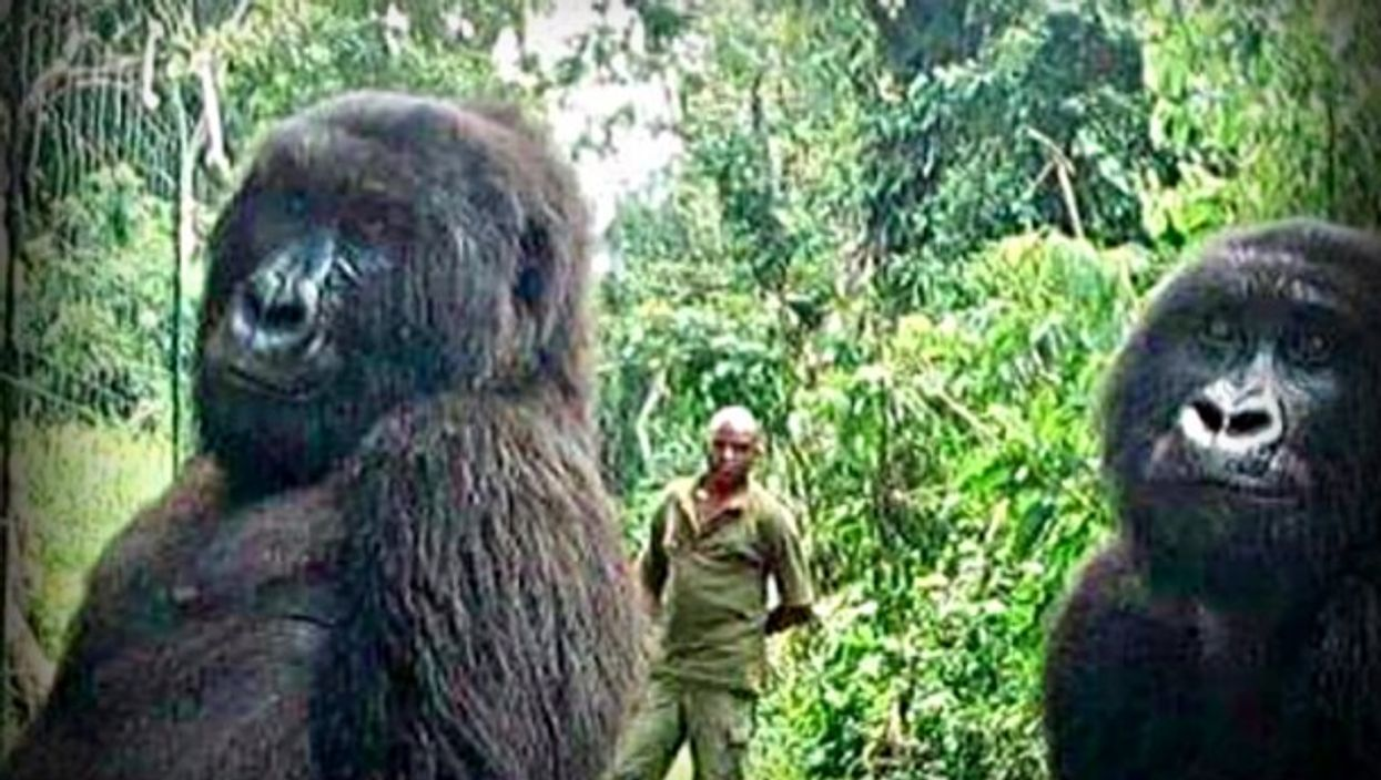 OneShot - Gorillas Strike A Pose For Selfie