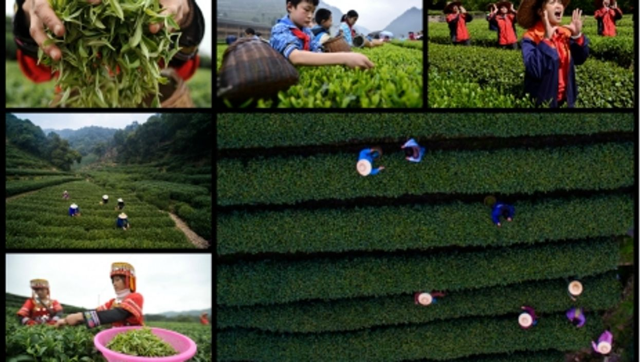 Tea Farming In China, Boiled Down In Five Facts