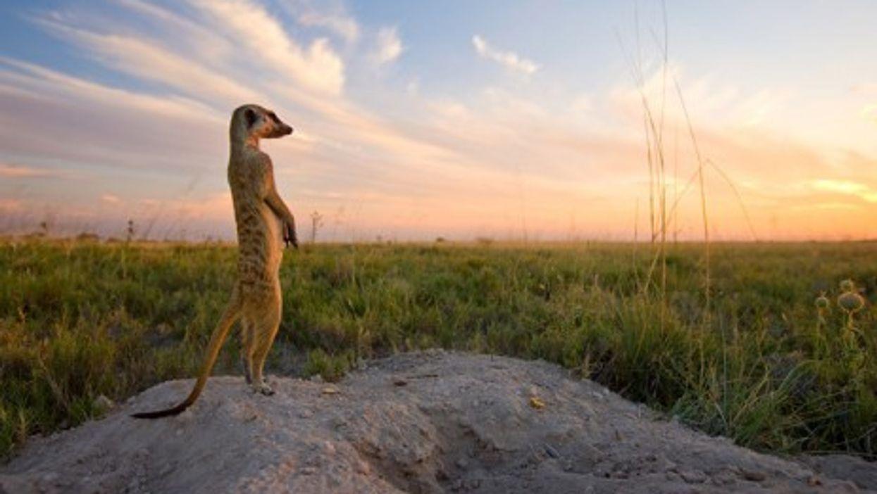 Meet The Photographer Beloved By Meerkats