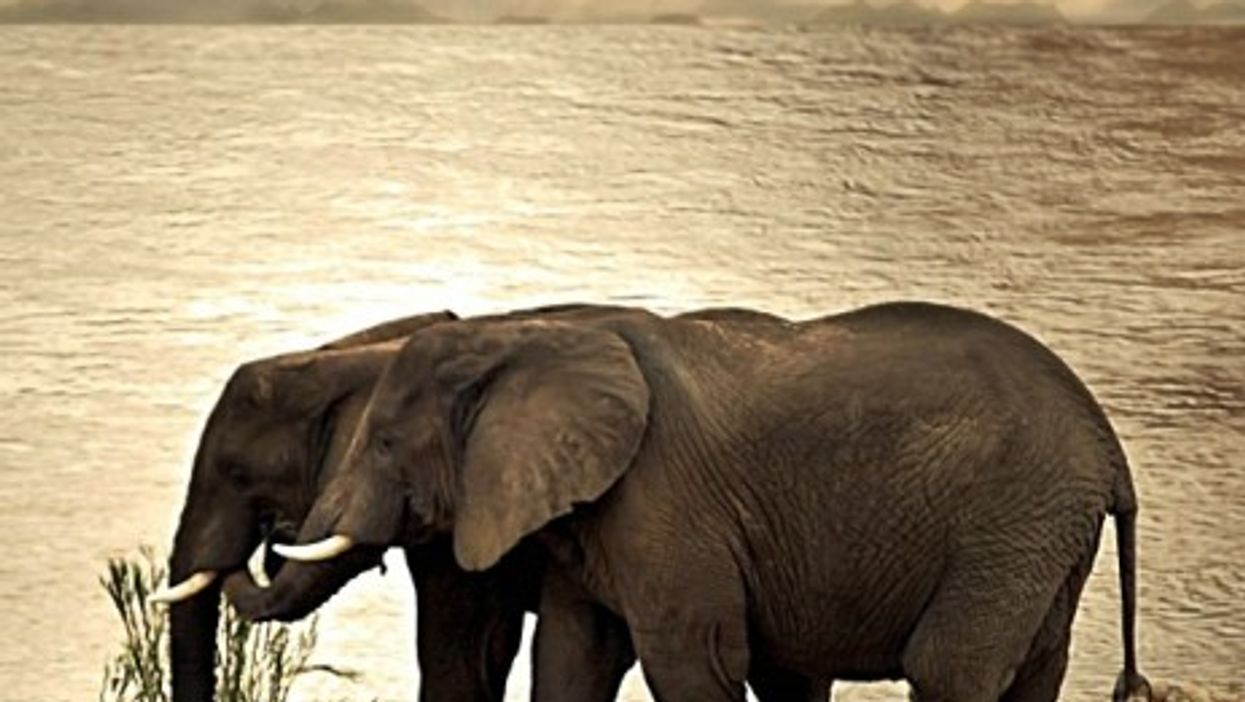 Cuteness Overload: Elephants Cuddle Each Other For Comfort