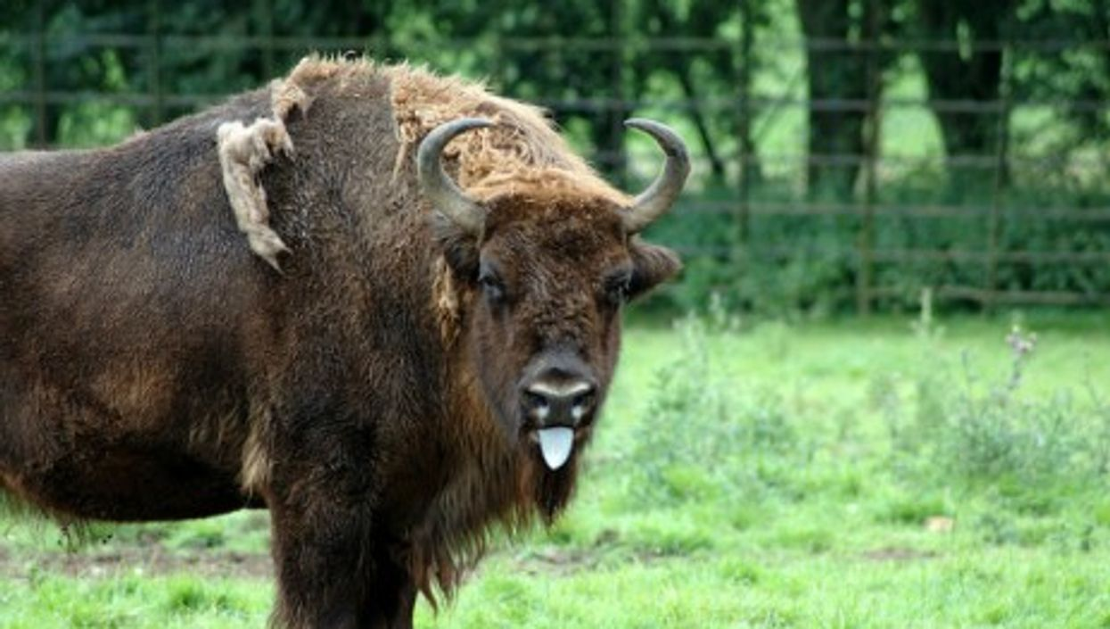 By Golly, The Bison Are Back