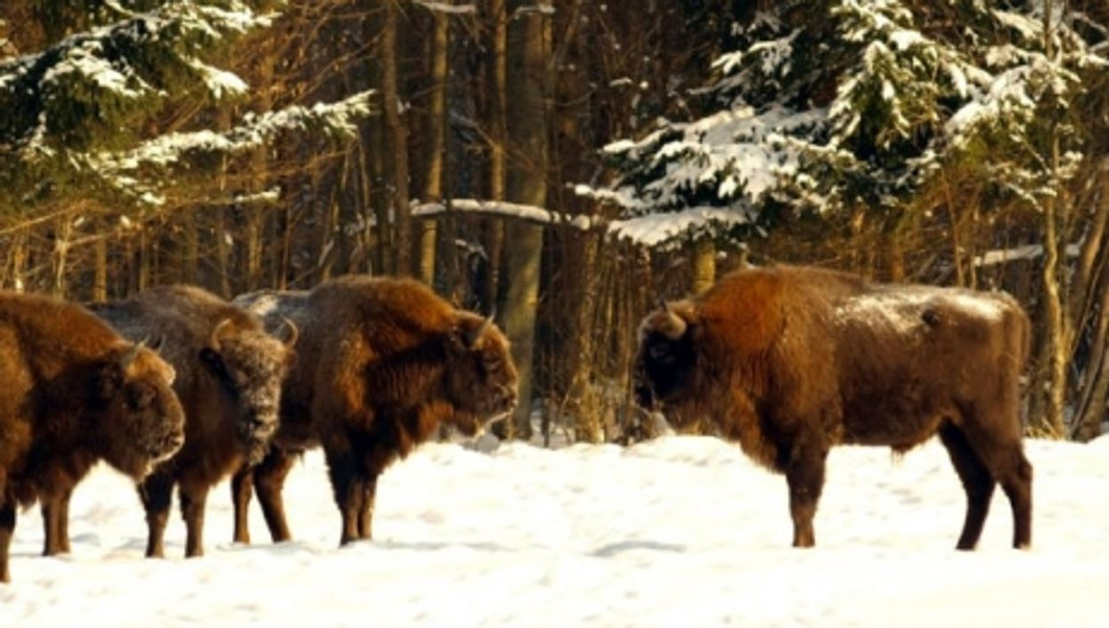 The European Bison, A Model Of Democracy In The Animal Kingdom