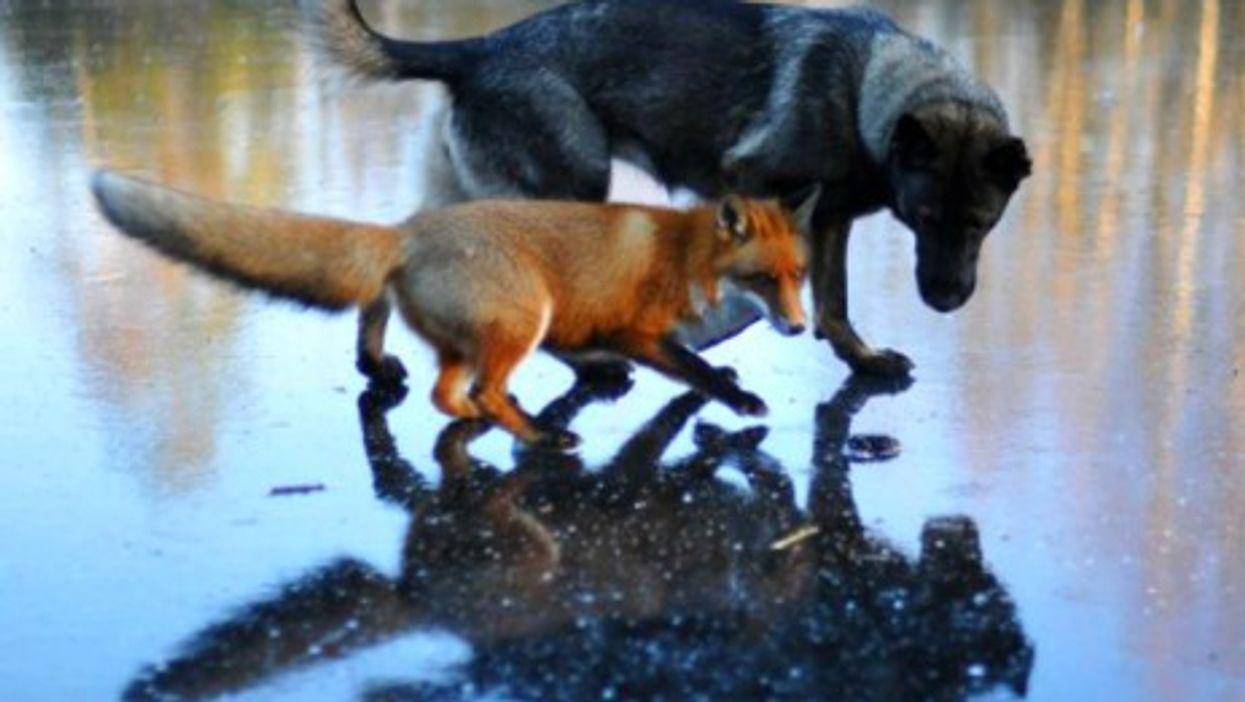 A Norwegian Dog And Fox Help Redefine Animal Friendship