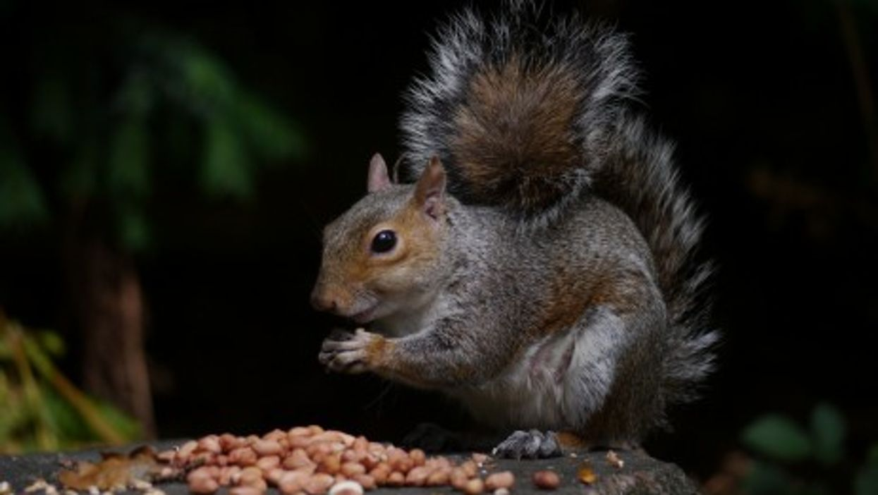 Italy's Emigration Drama: Squirrel Edition